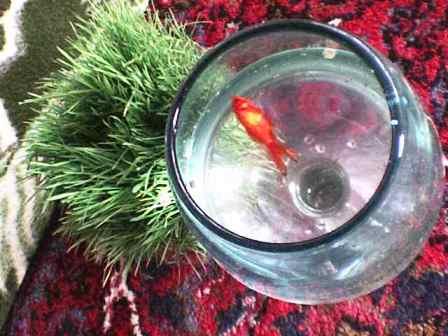 ماهی قرمز هفت سین پس از یازده روز