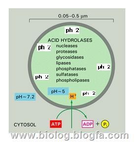 آنزیم های لیزوزومی
