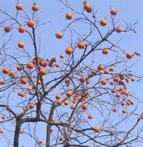 سرهای سرخ بر شاخههای خشکیده