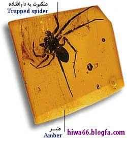 فسيل عنكبوت
