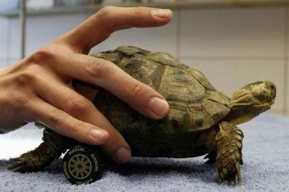 Amazing_Wheelchair_For_a_Turtle_2.jpg