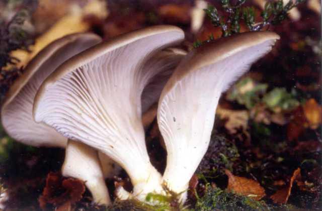 http://s1.picofile.com/file/6483987922/Pleurotus.jpg