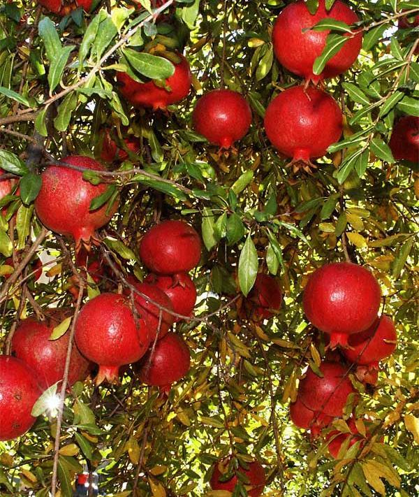 http://s1.picofile.com/file/6517875250/Pomegranate_wonderful.jpg
