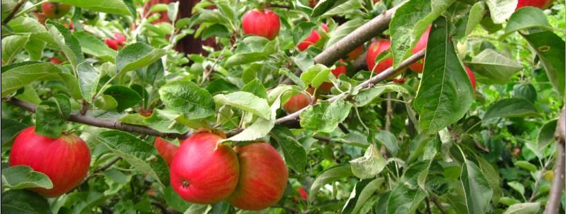 گردشی در باغ سیب