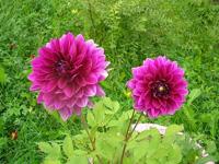 گل کوکب پرستار امروز