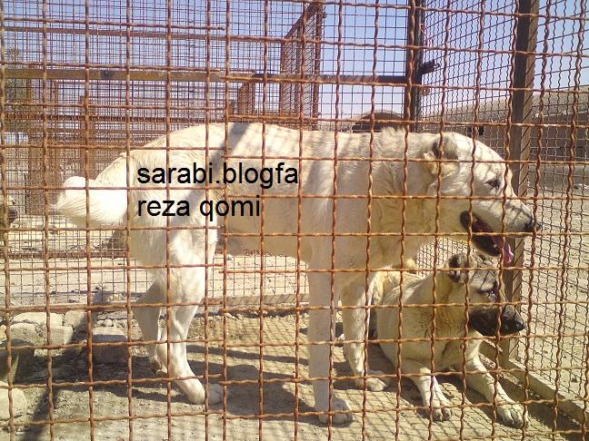 سگهای دوبرمن فروشی