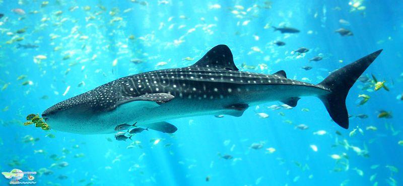 کوسه نهنگی