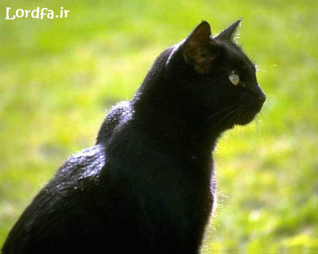کلکسیون عکس گربه های زیبا