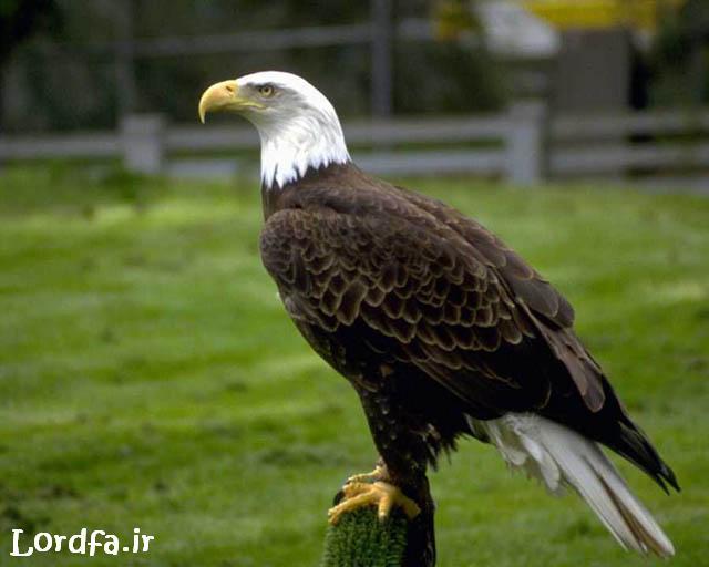 عکس عقاب خطرناک
