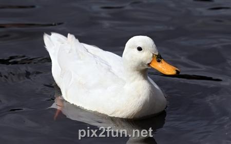 5 عکسهای فوق العاده دیدنی از انواع اردک