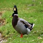 1 عکسهای فوق العاده دیدنی از انواع اردک