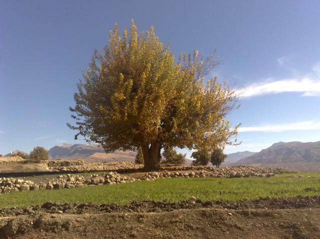 درخت کهنسال توت در میان مزارع روستا
