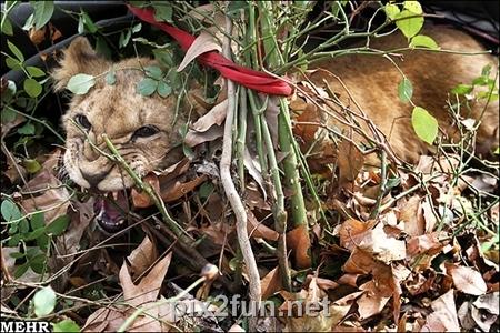 732893 orig گزارش تصویری شکار شیر لویزان
