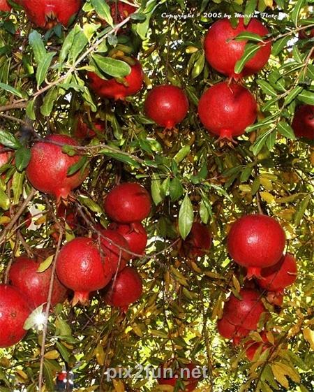 9 عکسهای بسیار زیبا از میوه انار