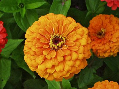 توليدي گل و گياه سرو طلايي گل وگیاهان زینتی
