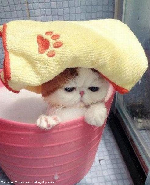 حموم گربه