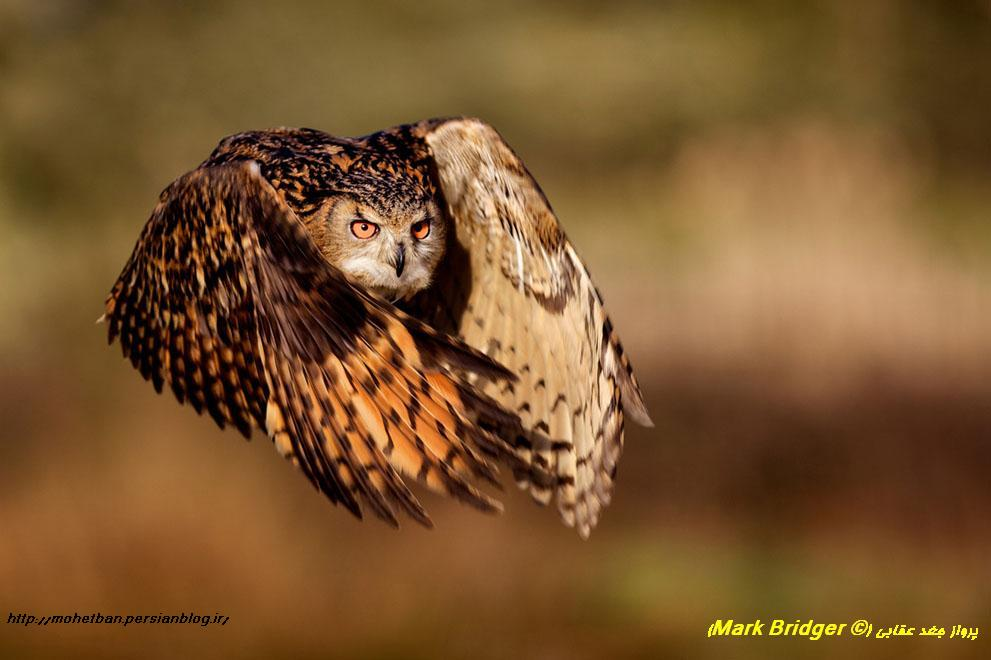 جغد (Mark Bridger)
