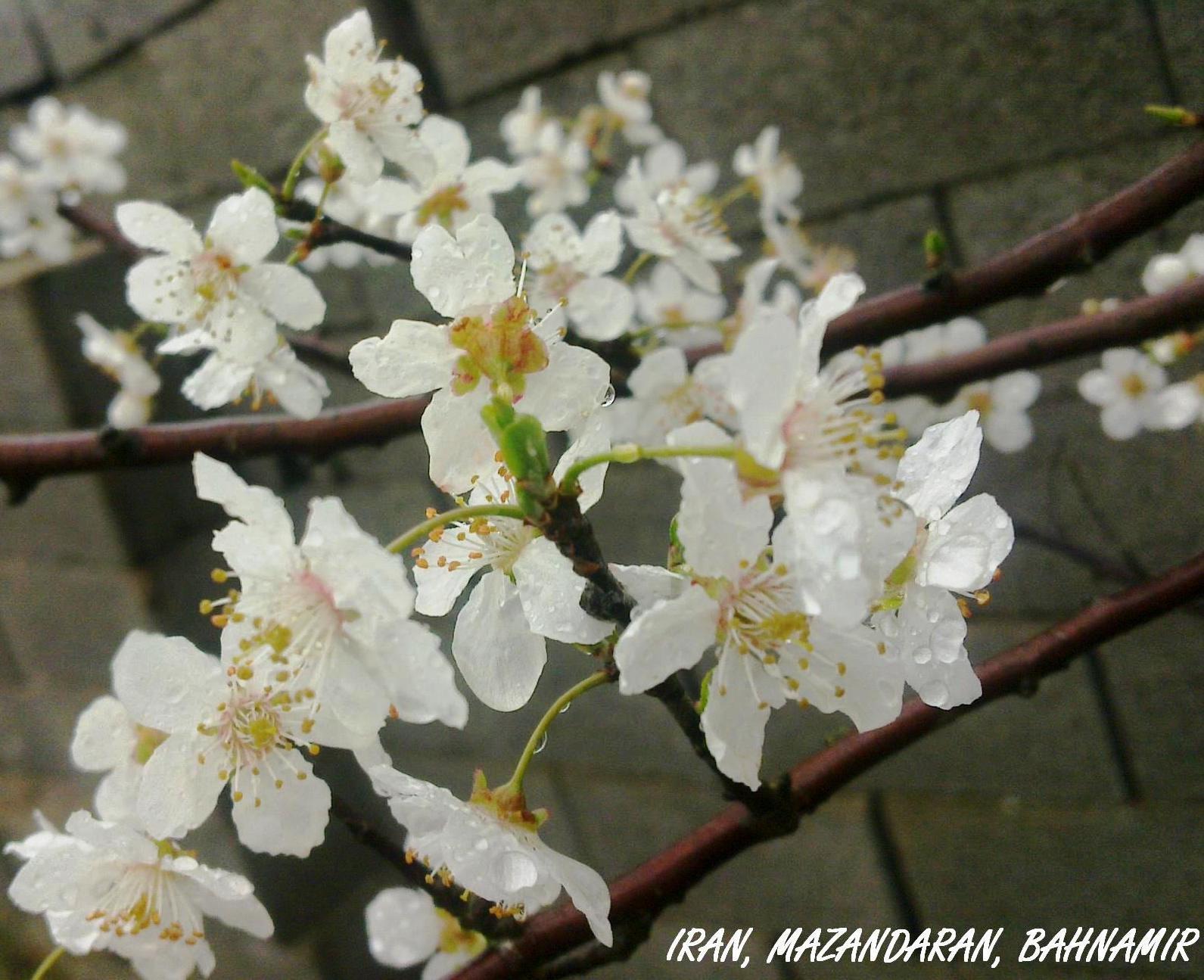 شکوفه های درخت آلوچه روستا