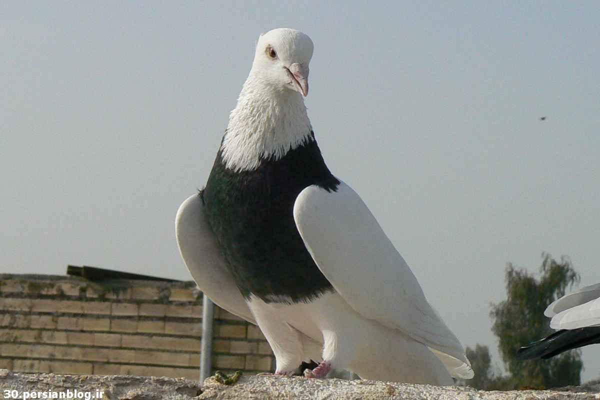عکس کبوتر با نوشته