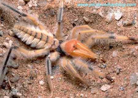 عنکبوت شتری غول پیکر