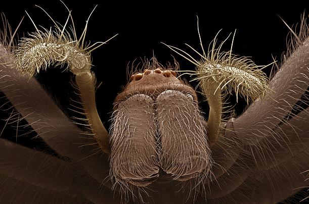 عنکبوت خانگی
