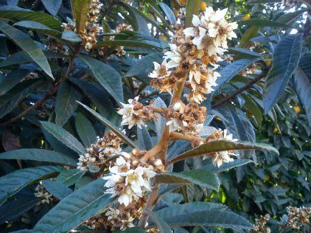 گل درخت انبوه ( ازگیل جنگلی)