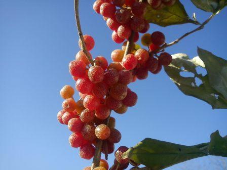 نوعی میوه که بسیار کوچک وبه انگور خارجی معرف است