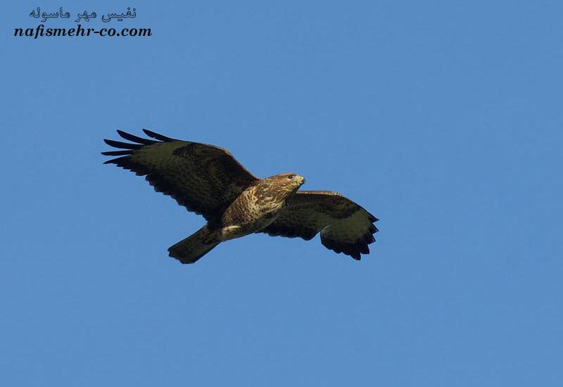 عکس عقاب شاهین