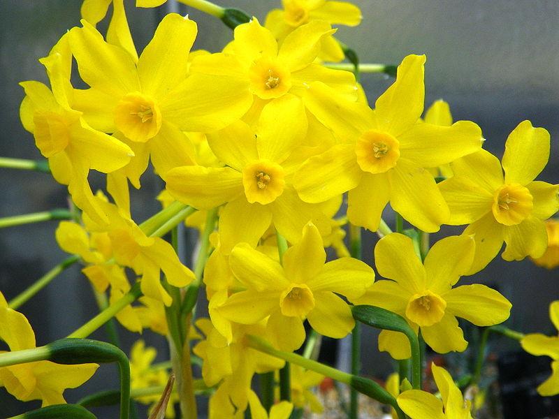 گل نرگس وحشی زرد