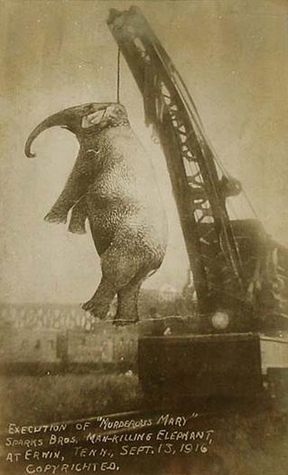 اولین فیلی که به دار آویخته شد+عکس