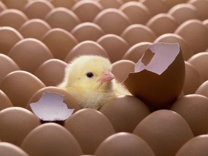 تولید تخم نطفه دار و جوجه کشی