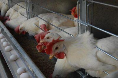 آموزش پرورش مرغ تخم گذار