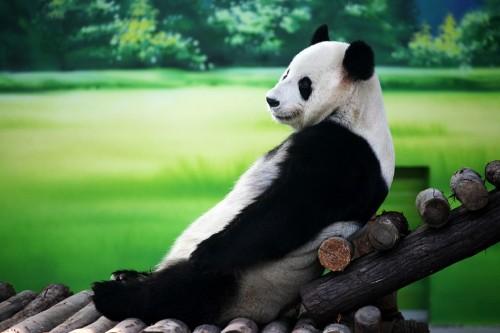 panda_8_500x333.jpg