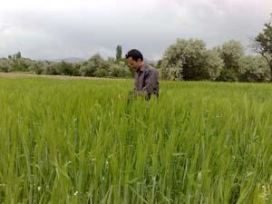 مزارع گندم