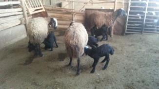 گوسفندان دو قلو