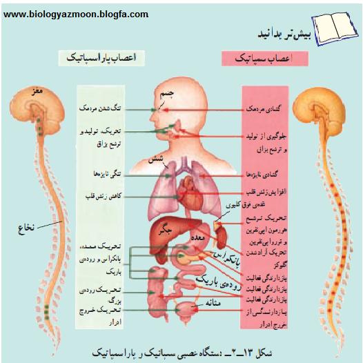 نتیجه تصویری برای تأثير اعصاب خود مختار بر فشار خون