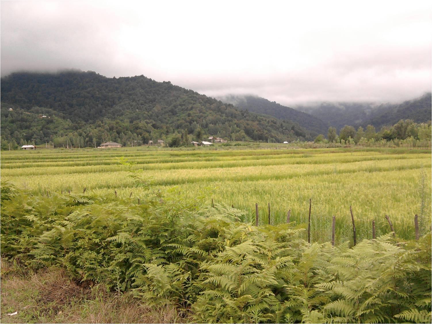 مزارع شالیزار (برنج) روستای شولم تابستان 1392