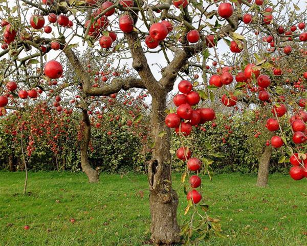 عکس های درختان سیب قرمز تصاویر باغ سیب