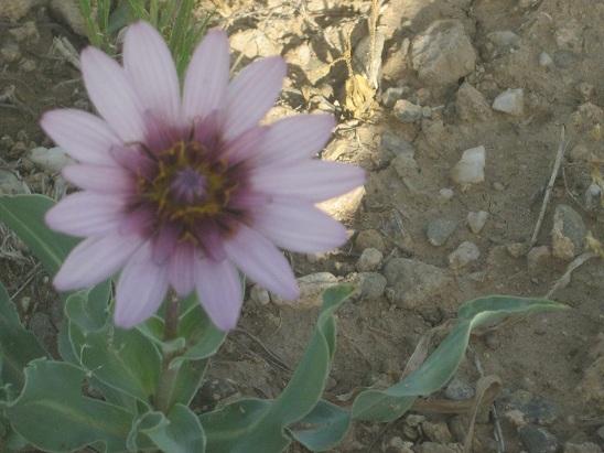 گل شیرین بلاغ بیجار