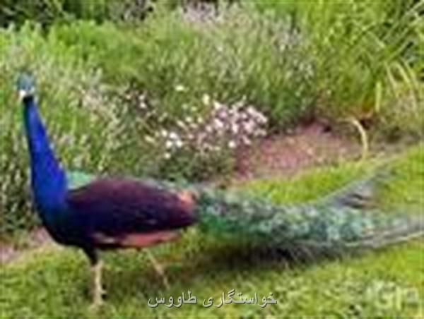 خواستگاری طاووس