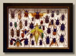 جمع اوری و اتاله کردن نمونه حشرات
