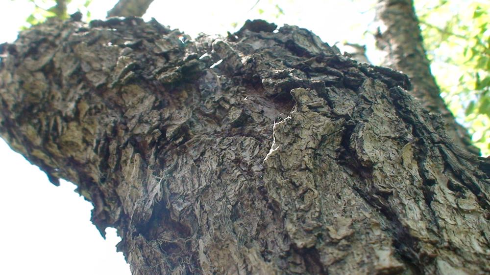 تنه درخت ارمود