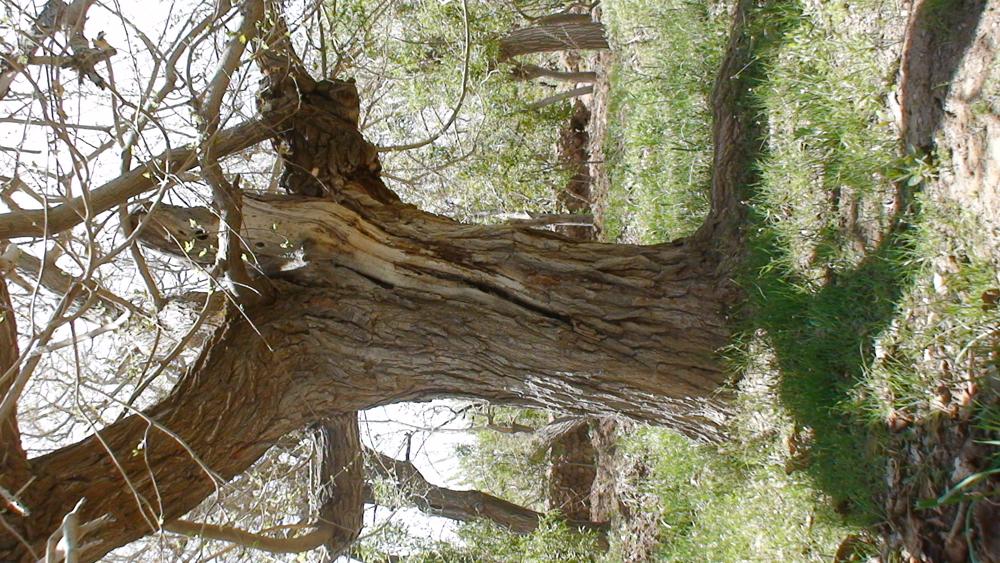 درخت توت
