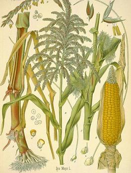 گیاهشناسی ذرت