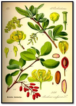مشخصات گیاهشناسی درخت عناب