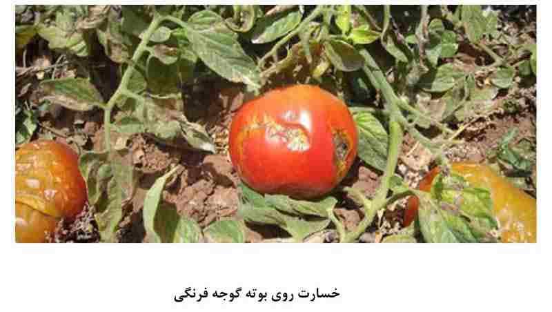 خسارت مینوز گوجه فرنگی