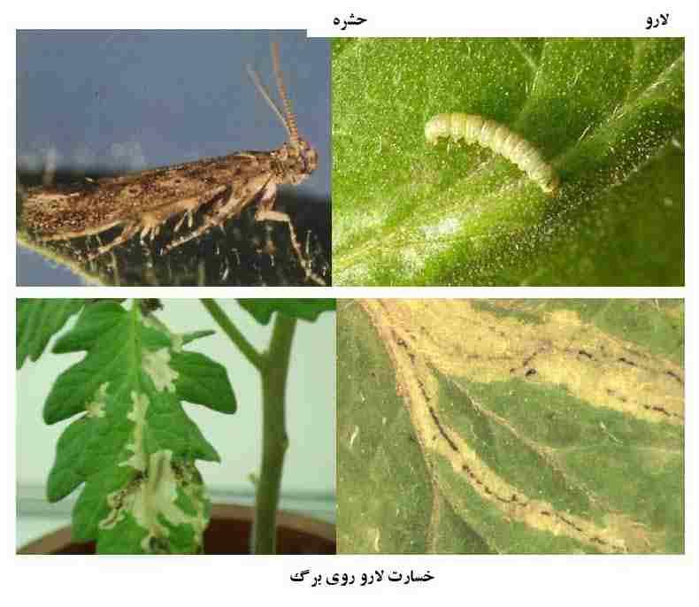 مینوز برگ گوجه فرنگی و علایم خسارت آن