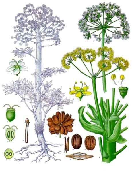 ریخت شناسی گیاه آنغوزه