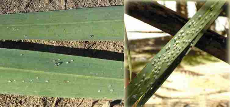 Ommatissus lybicus   زنجرک خرما