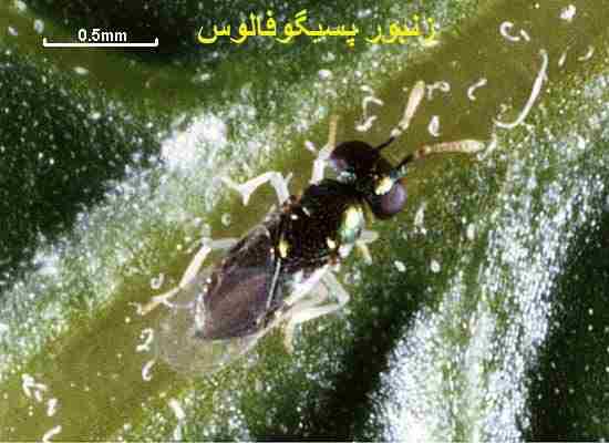 زنبور پسیلوفاگوس از دشمنان طبیعی پسیل پسته